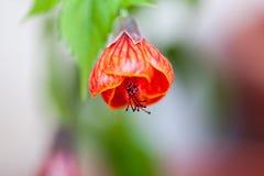 Orange Abutilonblume mit Details Lizenzfreies Stockfoto