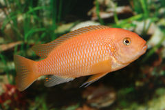 Orange african cichlid. Royalty Free Stock Image