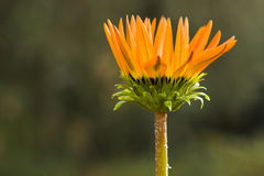 Orange African Daisy Stock Photography