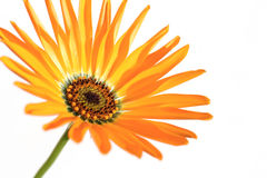 Orange African daisy blooming close up in the white Royalty Free Stock Photography