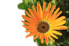 Orange African daisy blooming close up in the white #2 Stock Images