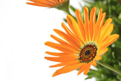 Orange African daisy blooming close up in the white #3 Royalty Free Stock Photo