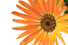Orange African daisy blooming close up in the white #4 Royalty Free Stock Image
