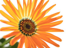 Orange African daisy blooming close up in the white #5 Royalty Free Stock Images