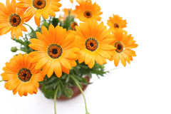 Orange African daisy flowers in the white Royalty Free Stock Image