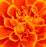 Orange african marigold ; for abstract background Royalty Free Stock Images