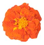 Orange African Marigold Royalty Free Stock Photo