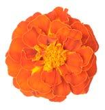 Orange African Marigold Royalty Free Stock Photo