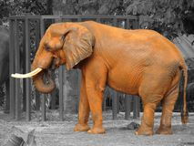 Orange afrikansk elefant royaltyfria bilder