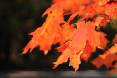 Orange Ahornblätter Lizenzfreies Stockfoto