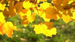 Orange Ahornblätter, die in den Wind mit der Sonne scheint durch sie beeinflussen stock video