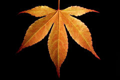 Orange Ahornblatt stockfotografie