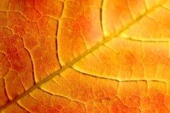 Orange Ahornblatt Lizenzfreie Stockfotografie