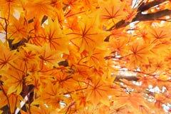 Orange Ahornblatt-Muster-Hintergrund Lizenzfreies Stockfoto