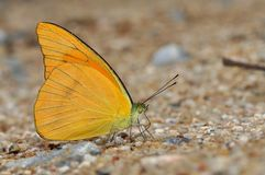 Orange Albatross butterfly. Of Thailand background Royalty Free Stock Photo