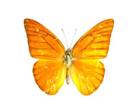 Orange Albatross butterfly (Appias nero). Stock Photos