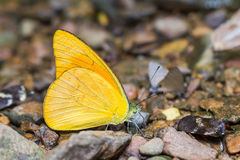 Orange Albatross butterfly Stock Image