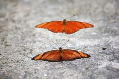 Orange Albatross butterfly To breed On the floor. Orange Albatross butterfly The two prepare to breed. On the floor stock photos