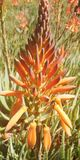 The orange aloe Vera flower in close-up. The aloe Vera flower in a flowering garden. Aloe vera leaves are used as medicines. Aloe Vera leaves have a gel. It is Stock Photos
