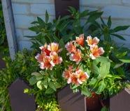 Orange Alstroemeriablumen stockbild