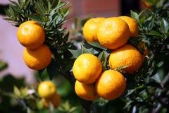 Orange amère, plantation de chinotto Images libres de droits