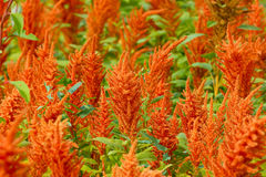 Orange amaranth. Sunny sinner, freedom, nature Stock Image