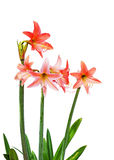 Orange Amaryllis royaltyfria foton