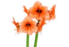 Orange Amaryllis in full blossom Stock Photos