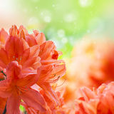 Orange amaryllys flowers background with place for text Stock Photo