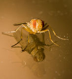 Orange and Amber Housefly With Double Reflection Royalty Free Stock Photo