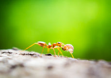 Orange Ameisen Stockfoto