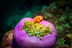 Orange amphiprion in anemones during a diving tour at Maldives. Orange amphiprion Clownfish in anemone bucket at night. Macro photography royalty free stock photo