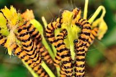 Orange And Black Cinnabar Moth Caterpillars Stock Images