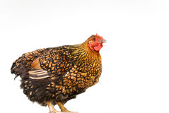 Orange And Black Hen Portrait Royalty Free Stock Photo
