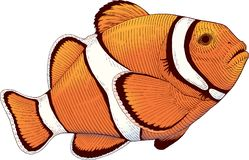 Orange anemone coral fish Stock Photo