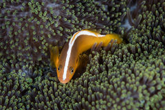 Orange Anemonefish och anemon royaltyfria foton