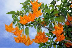 Orange Angel trumpet Royalty Free Stock Images