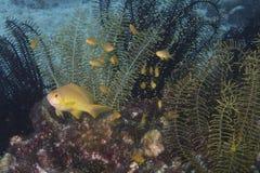 Orange Anthias-Fische in den Haarsternen, Balicasag-Insel, Bohol Philippinen Lizenzfreie Stockbilder
