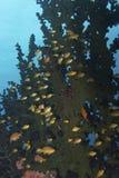 Orange Anthias Fish in Black Coral Home, Balicasag Island, Bohol Philippines Royalty Free Stock Photography