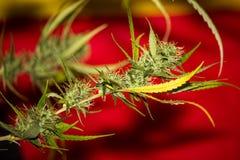 Orange Apricot Medical Cannabis Strain Stock Image
