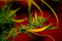 Orange Apricot Medical Cannabis Strain Royalty Free Stock Image