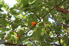 Orange apricots are ripe on a tree branch. Royalty Free Stock Photos