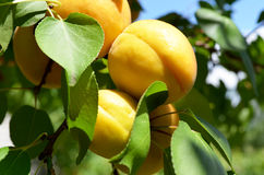 Orange apricots on a tree branch Royalty Free Stock Photography
