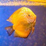 Orange aquarium fish Discus on blue background. With bubbles Stock Image
