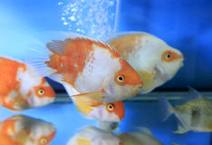 Orange aquarium fish Royalty Free Stock Images