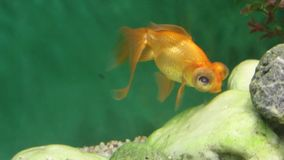Orange aquarium fish telescope eats feed among stones underwater stock footage