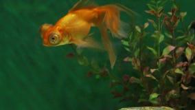 Orange aquarium fish telescope underwater stock footage