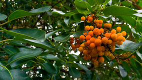 Orange Arbutus berries. Arbutus berries ripening on tree Royalty Free Stock Photos
