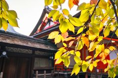 Orange architecture through orange leaves in autumn. Yasaka Shrine Honden View at the back with colorful autumn leaves in the foreground on a beautiful sunny day royalty free stock photo