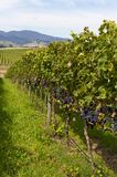 Black grapes rows. The Orange area of N.S.W.grows some of the best grapes because of its elevation Stock Photos